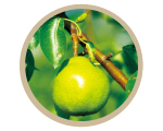 Pyrus Communis Branch Extract (La France Pear Extract) (Moisturizing)